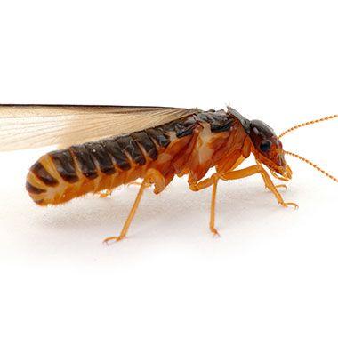 termite 380x380