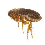 image of flea 150px square