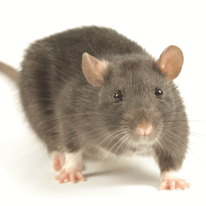 rat on white background 380x381px