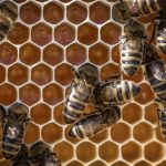 dozens of bees sitting on honeycomb