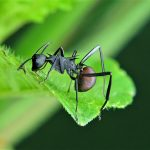 ant on green leaf with spiky armor looking back